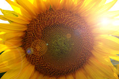 Beautiful flower of a sunflower. Bright colorful and juicy flower or flowers growing on a sunflower field photo for micro-stock Royalty Free Stock Photos