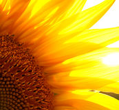 Beautiful flower of a sunflower. Bright colorful and juicy flower or flowers growing on a sunflower field photo for micro-stock Stock Images