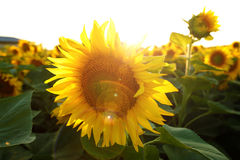 Beautiful flower of a sunflower. Bright colorful and juicy flower or flowers growing on a sunflower field photo for micro-stock Royalty Free Stock Images