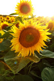 Beautiful flower of a sunflower. Bright colorful and juicy flower or flowers growing on a sunflower field photo for micro-stock Stock Photos