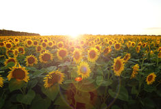 Beautiful flower of a sunflower. Bright colorful and juicy flower or flowers growing on a sunflower field photo for micro-stock Royalty Free Stock Photography