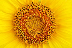 Beautiful flower of a sunflower close up. Macro Royalty Free Stock Photos