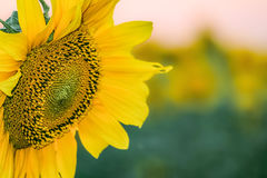 Beautiful flower of a sunflower closeup on a blurred plant background. Agricultural natural background with limited depth of field Royalty Free Stock Photo