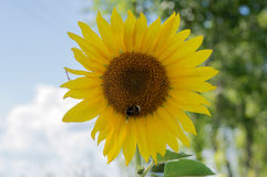 Beautiful flower of a sunflower. On  sky background Stock Images