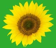 Beautiful flower of a sunflower. Beautiful flower sunflowers on green background Stock Image