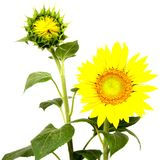 Beautiful flower sunflowers on white background Stock Images