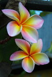 Beautiful flower Thailand. Flower in the beautiful tropics of Asia Stock Image