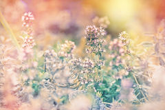 Beautiful flower of thyme Royalty Free Stock Photography