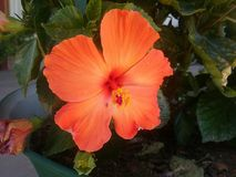 Hibiscus Orange Flower royalty free stock image