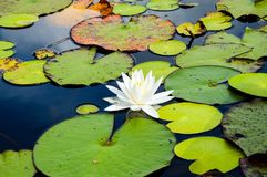 Waterlily in full daylight on the lake. Beautiful flower on the tranquil lake surrounded by lily pads in full daylight Stock Photography