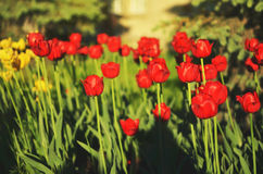 Beautiful Flower tulips background. Royalty Free Stock Photo