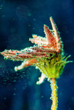 Beautiful flower under water with bubbles Royalty Free Stock Photos