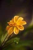 Beautiful flower. Royalty Free Stock Image