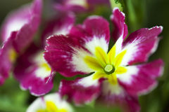 Beautiful flower Viola tricolor royalty free stock photos