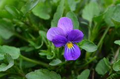 Beautiful flower viola. Viola - a very beautiful and elegant garden flower Stock Image