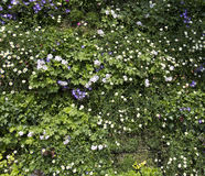 Beautiful Flower Wall Background Royalty Free Stock Photography