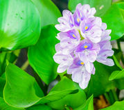 Beautiful flower of water hyacinth Royalty Free Stock Photos