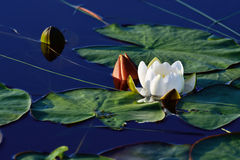 Beautiful flower water Lily Royalty Free Stock Photos