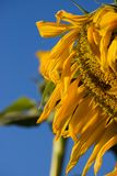Sunflower In view Royalty Free Stock Image