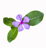 Beautiful  flower whit leaf Royalty Free Stock Photos