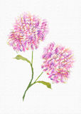 Beautiful Flower white  background Colorful decorative  Floral. Chrysanthemum pink and lilac  flower fresh cut blooms Royalty Free Stock Image