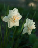 Beautiful flower white daffodil growing in the garden. close-up Royalty Free Stock Photography