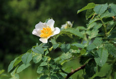 Beautiful flower of a white Dog Roses Stock Photography