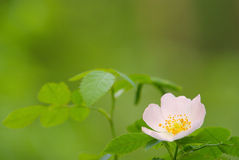 Beautiful flower of the wild rose Stock Image