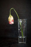 Beautiful flower wilting rose on a dark background. Stock Image