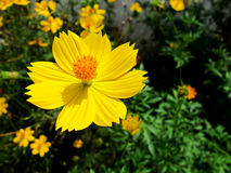 Beautiful flower. Yellow flower in nature Stock Photos