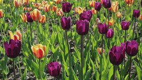 Beautiful flowerbed with colorful tulips. Spring flowering stock video