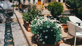 Beautiful flowerbed with flowering daisies on the streets of the capital city of a capital of Azerbaijan, Baku stock footage