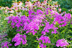 Beautiful flowerbed with phlox and echinacea Royalty Free Stock Photography
