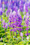 Beautiful flowerbed with Sage, Salvia nemarosa Royalty Free Stock Images