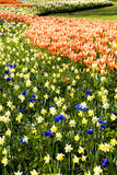 Beautiful flowerbeds Keukenhof. Beautiful blooming flowerbeds in Keukenhof royalty free stock images