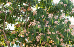 Beautiful flowered tamarind tree Stock Images