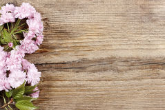 Beautiful flowering almond (prunus triloba) on wooden background Stock Images