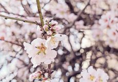 Beautiful flowering almond tree branch with new bud. Close up, Spring is coming Royalty Free Stock Images