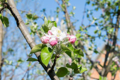 Beautiful flowering apple trees. background with blooming flowers in spring day stock images