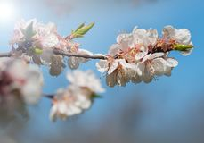 Beautiful flowering apricots in spring.Blossoming of fruit trees. royalty free stock photo