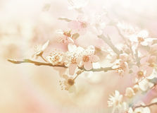 Beautiful flowering - blooming cherry tree Stock Image