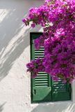 Beautiful flowering bush in front of a shuttered window royalty free stock photos