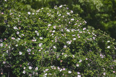 Beautiful flowering bush near the house Royalty Free Stock Images