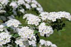 Dainty white flowers with yellow centers on flowering bush in landscaped garden. Beautiful flowering bush in Summer garden, with small dainty white flowers stock images