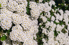 A beautiful flowering bush of white Spirea. In the spring in May Stock Image