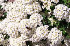 A beautiful flowering bush of white Spirea. In the spring in May Royalty Free Stock Photo