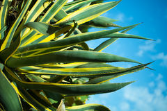 Beautiful flowering cactus Stock Image
