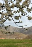 Beautiful flowering cherry branch, mountains in the background and lush white clouds. Beautiful flowering cherry branch ,, in the background, mountains and lush royalty free stock images