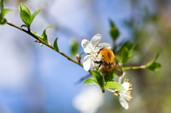 Beautiful flowering cherry trees and bumblebee pollinate. Bumblebee harvesting pollen from cherry blossom in spring day. Blossoming of cherry flowers in spring Stock Image