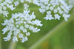 Beautiful flowering cow parsnip stock photo